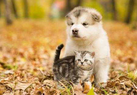 46981228-schotse-kat-en-malamute-puppy-hond-bij-elkaar-in-de-herfst-park-